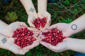 gepflückte Cranberrys